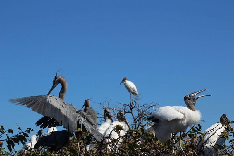 Flocking Togther Nature Birds Florida Wetlands Heron Wood Storks Sky Bird Group Of Animals Animal Wildlife Vertebrate Animal Low Angle View