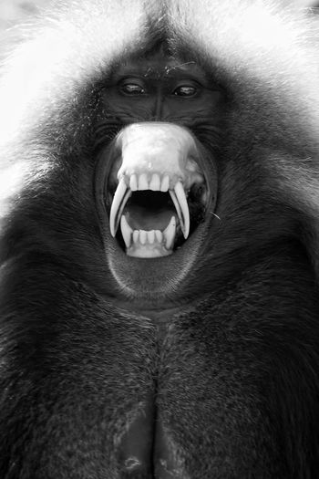Ethiopia Africa Gelada Monkey Gelada Monkey Wildlife Animals In The Wild Blackandwhite Portrait Simien Mountains National Park Shouting Looking At Camera Anger Protruding Mouth Open Aggression  Close-up Roaring Animal Teeth Animal Mouth Angry Mouth Animal Call Teeth