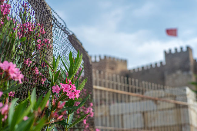Oleanders blossoming out of wire fence under Ayasuluk Fortress, Selcuk, Turkey. Attraction Ayasuluk Tepesi Blossom Castle Fence Flag Flower Fortress Gato Oleander Oleander Flowers Pink Color Selçuk Traveling Turkey Visit Wire