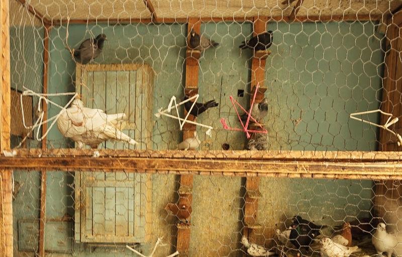 Pigeons Animal Themes Beaks Bird Bird Cage Cage Cooing It Day Domestic Animals Domestic Pets Feather  Homing Pegion Homingpigeon Outdoors Pigeon Stout Wings Wire