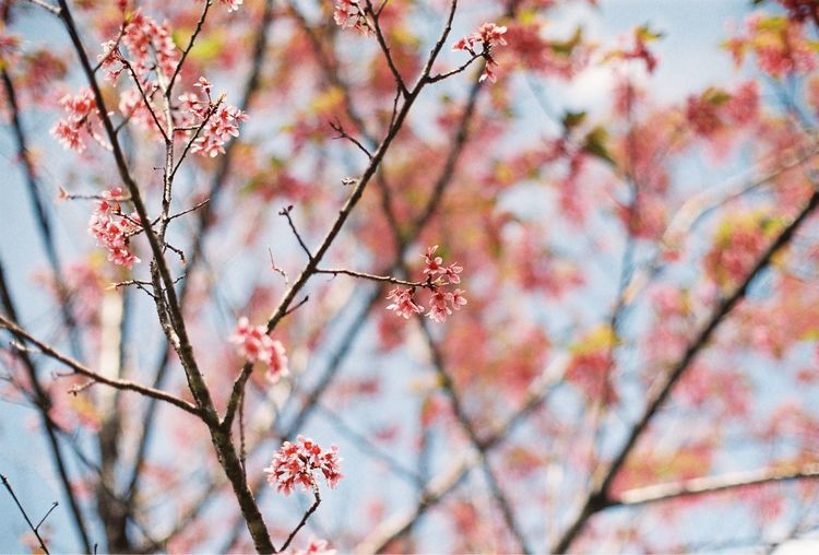 Sakura blossoms Sakura Thailand Sakura Trees Sakura Blossom Sakura Plant Tree Growth Beauty In Nature Branch Low Angle View Flower Flowering Plant Nature Pink Color Close-up Focus On Foreground Springtime Outdoors Blossom Freshness Day Fragility No People Vulnerability