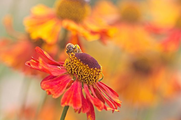 Pollination Orange Color Animal One Animal Animals In The Wild Animal Wildlife Flower Head Close-up Petal Freshness Vulnerability  Beauty In Nature Fragility Flower Animal Themes Insect Garden In My Garden Garden Photography Garden Flowers Bee Insect Photography Insect Paparazzi Beautiful Beautiful Nature Lovely Scenics Nature Natural Beauty Nature_collection Nature Photography Naturelovers EyeEm Nature Lover EyeEm Gallery Eye4photography  Flower Collection Flowers, Nature And Beauty Flowers,Plants & Garden Bokeh Animal Photography Beautiful Flowers