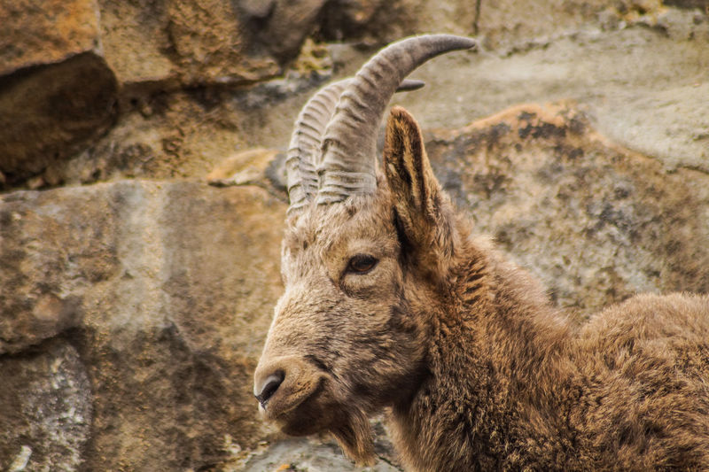 ram Animal Wildlife Animal Animal Themes Animals In The Wild Mammal One Animal Vertebrate No People Young Animal Day Animal Body Part Focus On Foreground Nature Zoo Outdoors Close-up Domestic Animals Animal Head  Herbivorous Animal Family Profile View Goat Ramen