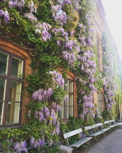 Purple flowering plants by window of building