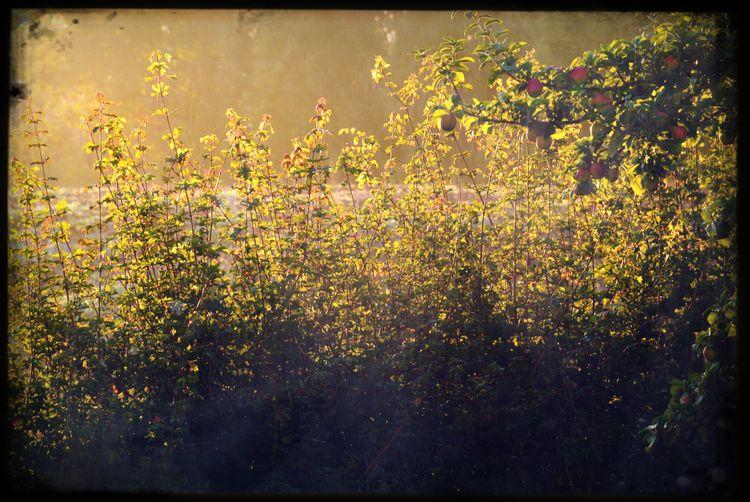 Herbst - Autumn - Fall. Photograph (c) 2015 Kay-Christian Heine Apfelbaum  Apple Tree Autumn Backlight Fall Foliage Field Garden Garten Gegenlicht Golden Hour Goldener Oktober Green Color Hecke Hedge Herbst Lush Foliage Morgenlicht Morgensonne Morning Light Nature Rural Scene Sonnenaufgang Sunny Day Sunnyday Sunrise