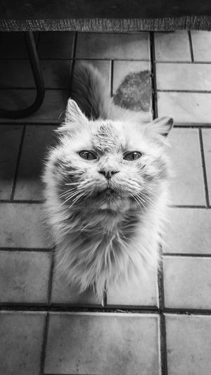 Animal Themes Cat Cats Close-up Day Domestic Animals Domestic Cat Feline Indoors  Mammal No People One Animal Persian Cat  Pets Portrait Sitting Whisker