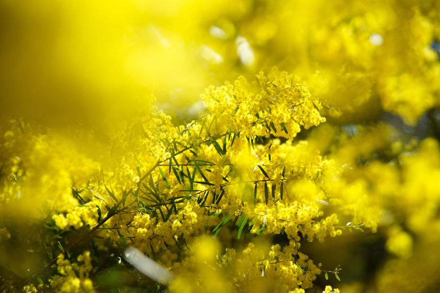 Yellow Flower Plant Beauty In Nature Selective Focus Freshness Day Springtime Wattles Wattle Flower