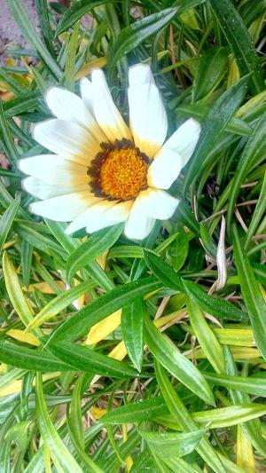 Daisy Flower Head Flower Petal Leaf Close-up Plant
