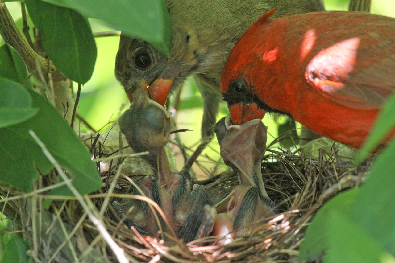 Close-Up Of Cardinal Family Feeding In Nest