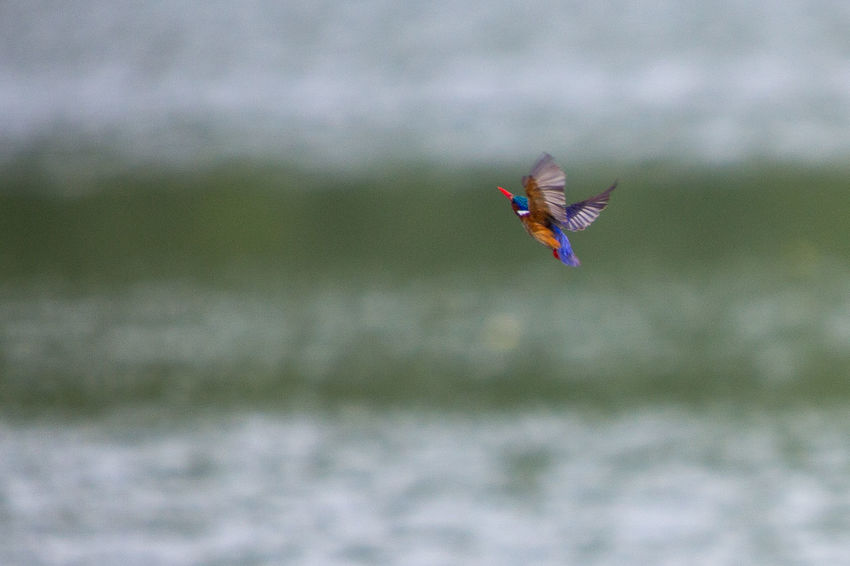 A malachite kingfisher on the hunt Kingfisher Animal Themes Animal Wildlife Animals In The Wild Beauty In Nature Bird Close-up Day Flying Kingfisher Bird Malachite Kingfisher Mid-air Motion Nature No People One Animal Outdoors Spread Wings