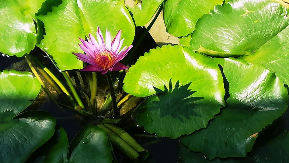 So lonely, so special Lotus Water Lily Lotus Flower Lotus Lily Flower Pink Flower Pink Color Pink Lonely Loneliness Flower Water Growth Plant Green Color Petal No People Flower Head Close-up Outdoors Leaf Freshness Flower Fragility Nature Beauty In Nature Water Lily Lotus Water Lily Lily Pad