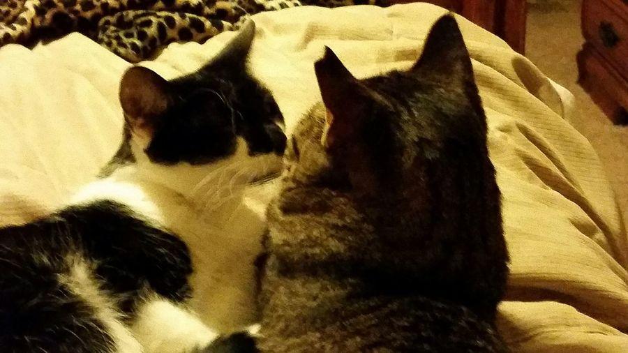 Kittylove Pets Corner Cats Kissingkitties