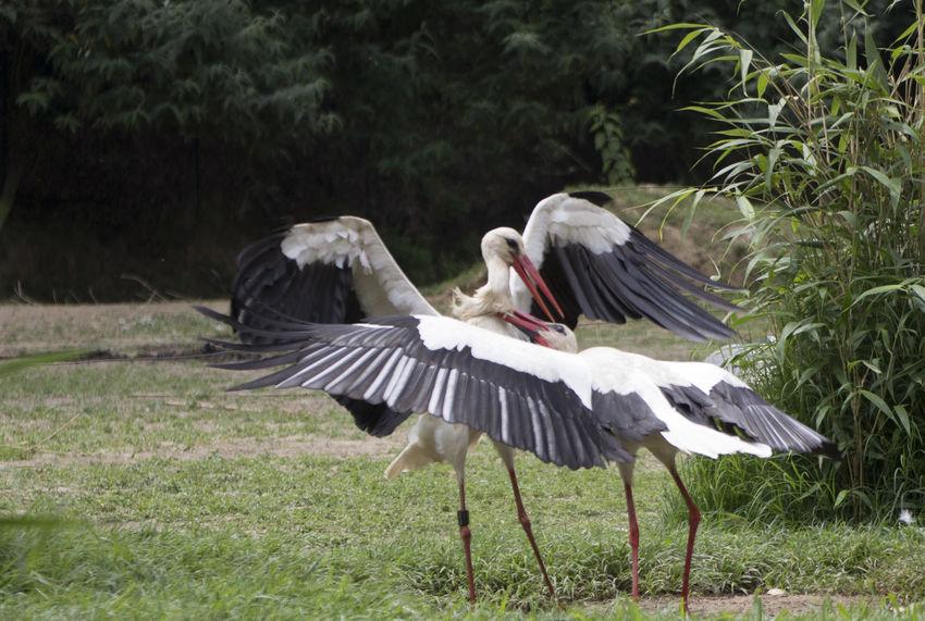 White stork Birds Of EyeEm  Birds🐦⛅ White Stork Wildlife & Nature Bird Birds Birds_collection Cicogna Ciconia Ciconia Ciconia Wildlife