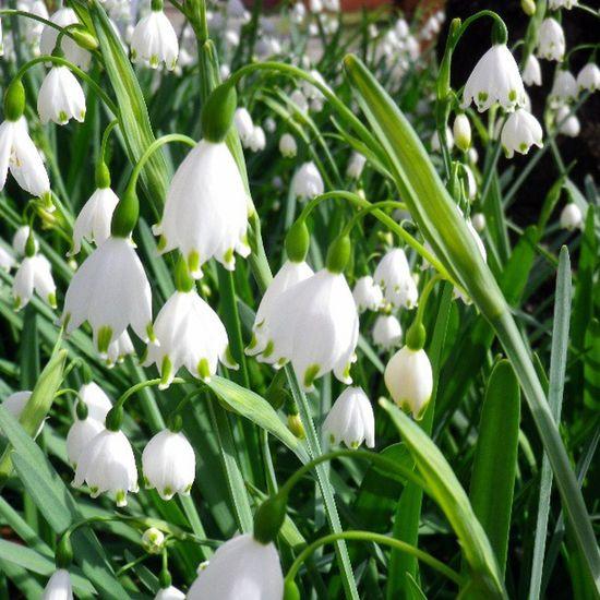 Lilyofthevalley Flower すずらん すずらん 花