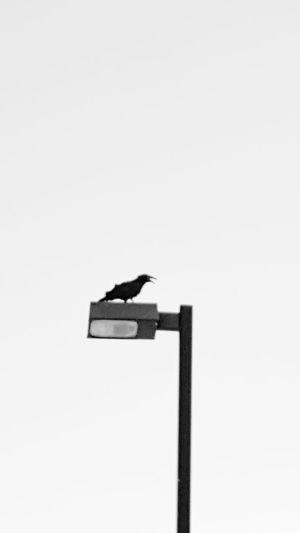 Raven Bird Watching Lamp Post Blacckandwhite Caw