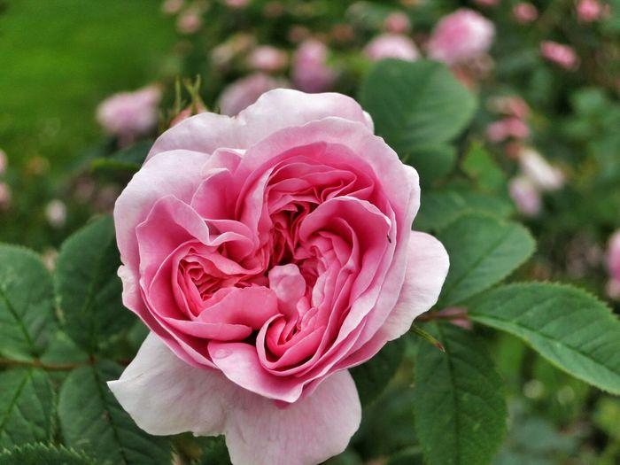 Rosaries Roses Botanic Garden Macro