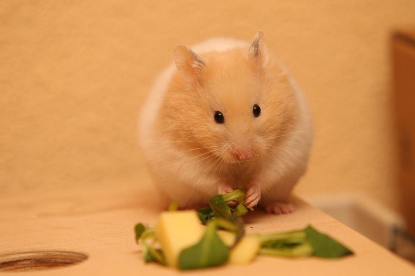 Hamster Love Hamsters Animal Animal Themes Animal Wildlife Close-up Domestic Domestic Animals Eating Food Food And Drink Hamster Indoors  Looking At Camera Mammal No People One Animal Pets Rodent Selective Focus Sitting Vegetable Whisker