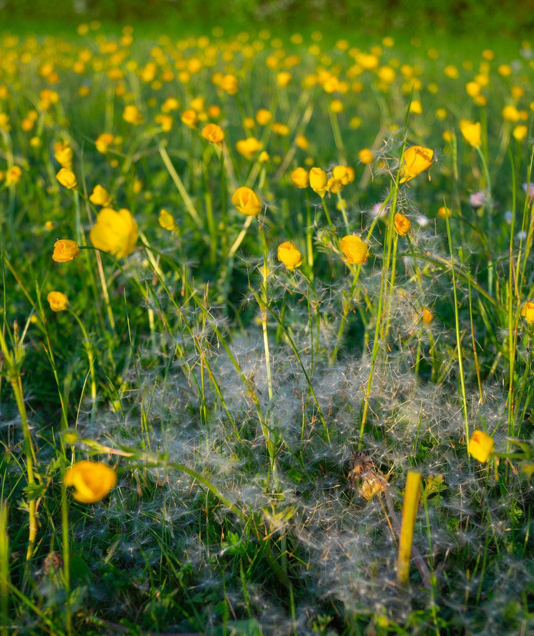 CLOSE-UP OF YELLOW CROCUS FLOWERS