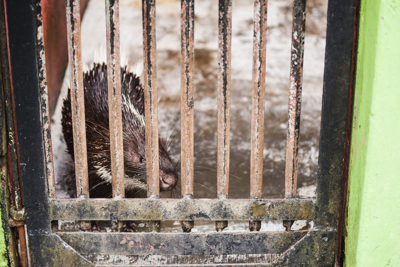 Close-up of porcupine in cage