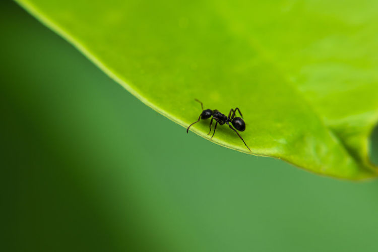 Ants on the leaves Invertebrate Insect Animals In The Wild Green Color Animal Animal Wildlife Animal Themes One Animal Plant Part Leaf Day No People Close-up Nature Plant Focus On Foreground Zoology Fly Ant Outdoors Ants On The Leaves