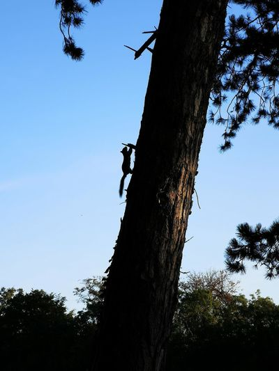 Low angle view of silhouette tree trunk against clear blue sky