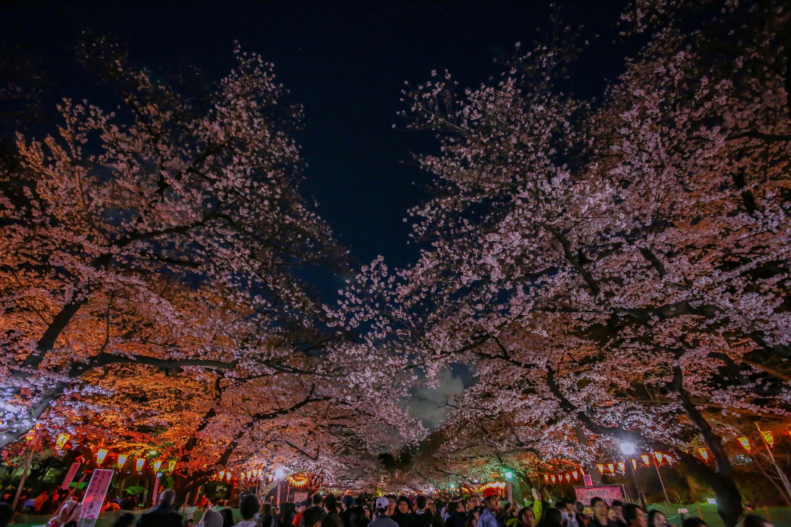 tree, plant, night, growth, beauty in nature, nature, flower, flowering plant, group of people, outdoors, incidental people, branch, fragility, change, park, large group of people, illuminated, low angle view, cherry blossom, cherry tree