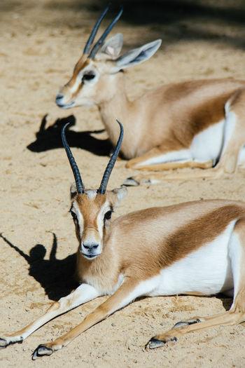 Two dorcas gazelles lying down in the sun. Animal Themes Animals Dorcas Gazelle Gazelle Lying Down Mammal Outdoors Sunlight Two