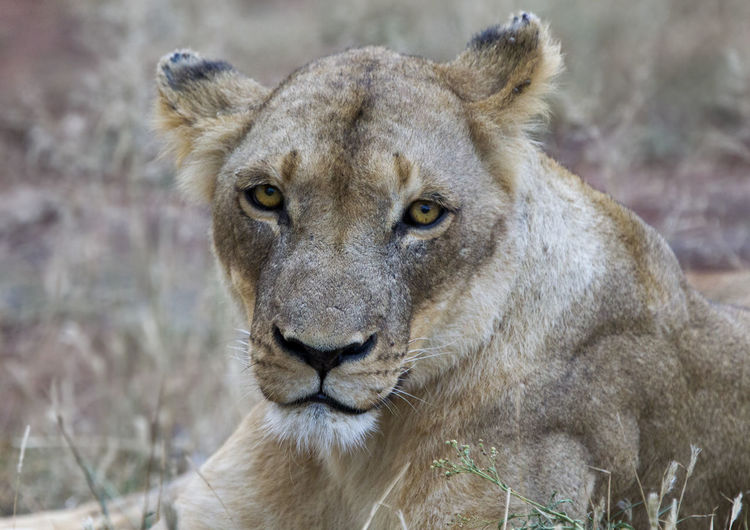 Animal Themes Animal Wildlife Animals In The Wild Close-up Day Focus On Foreground Lion - Feline Lion Cub Lioness Looking At Camera Mammal Nature No People One Animal Outdoors Portrait
