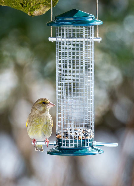 European greenfinch Bird Photography Birds Of EyeEm  Birds🐦⛅ European Greenfinch Grünfink Vogel Animal Themes Animal Wildlife Animals In The Wild Bird Bird Feeder Birds Birds_collection Chloris Chloris Day Focus On Foreground Food Nature No People One Animal Outdoors Vogelfotografie