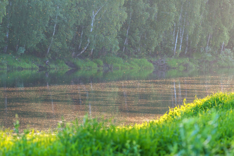 Poplar fluff above the river. Beauty In Nature Day Grass Green Color Growth Landscape Nature Nature Nature Photography No People Outdoors Poplar Fluff River Scenics Sunnyday Tranquil Scene Tranquility Tree Water