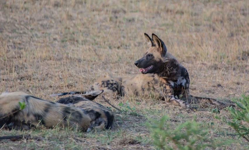 Hyena Sitting On Field In Forest