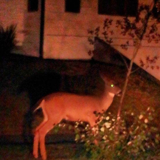 Gotta love our NorthEndDeer .. this little spike was on 35th and mason..... 253 Ttown