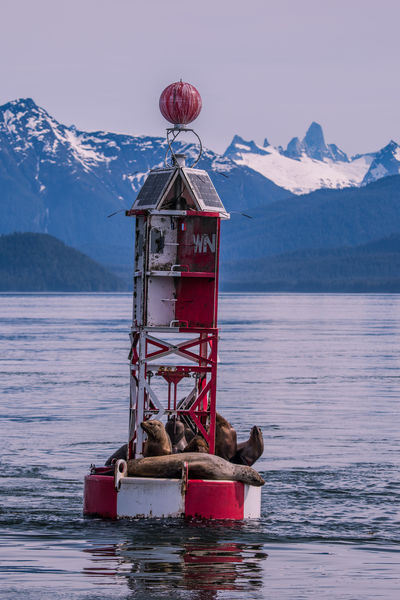 Steller Sea Lions (Eumetopias jubatus) take a rest on the channel buoy marking the northern end of Wrangell Narrows with the notorious Devils Thumb in the background. Petersburg, Alaska, USA Love Life, Love Photography Alaska Buoy Buoy On The Water Calm Channel Channel Marker Devils Thumb Eumetopias Jubatus Inside Passage Marker Mountain Mountain Range Mountains Petersburg Red Remote Resting Sailing Sea Lions Seals Sky Steller Sea Lion USA Water Wrangell Narrows