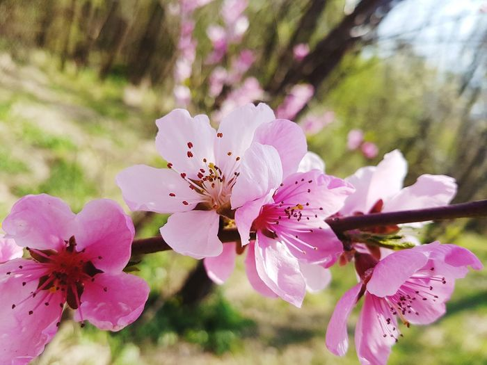 Pink Color Flower Nature Fragility Growth Beauty In Nature Close-up Blossom Flower Head Petal Freshness No People Outdoors Plant Flowers_collection Nature_perfection Flowers, Nature And Beauty Beauty In Nature Millennial Pink