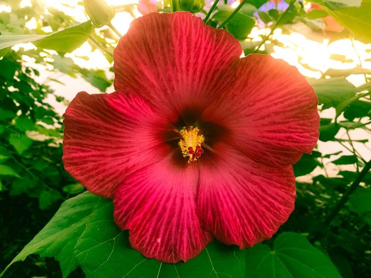 Flower Petal Nature Flower Head Fragility Growth Red Beauty In Nature Freshness Leaf Plant Hibiscus Pollen Day No People Stamen Blooming Close-up Outdoors