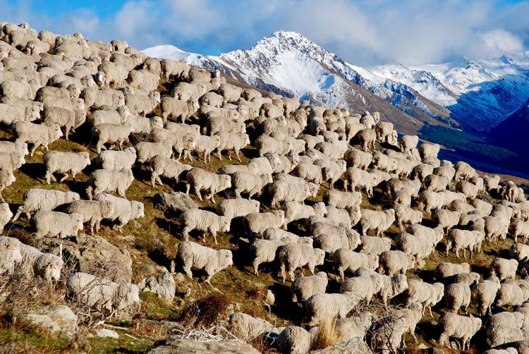 Flock of sheep against snowcapped mountains