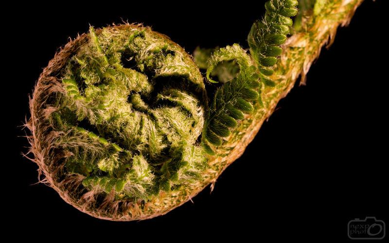 Fern # #botanicalgardens #ferns #green #macro #Nature  #Plant Black Background Close-up Fern Food Freshness Green Color Nature No People Plant Spiral Studio Shot