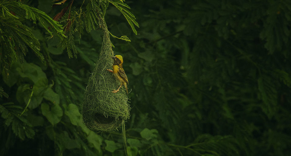 Building the nest Green Color Plant Growth Leaf Plant Part Close-up Nature Tree Beauty In Nature No People Focus On Foreground Day Outdoors Freshness Tranquility Animals In The Wild Fern Selective Focus Animal Wildlife Animal Themes Nest Nesting Birds Nest Egg Nestle Nest Birds