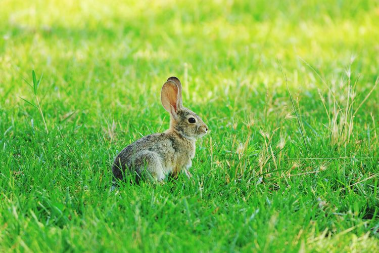 bunny Cottontail Rabbit Lawn Green Grass Cute Animals Rural Wild Wildlife Peter Cottontail Cute Full Length Animal Themes Close-up Grass Green Color Rodent Rabbit Grass Area