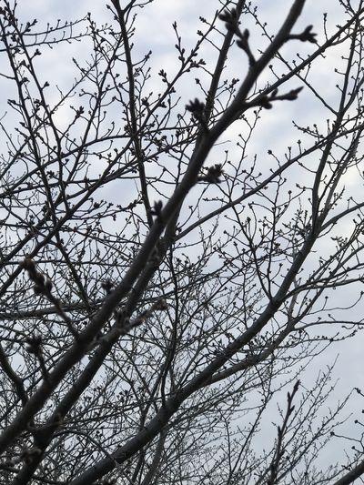 桜の木🌸蕾が少し膨らんでいた❣️ Tree Branch Low Angle View Nature No People Beauty In Nature Bare Tree Day Sky Outdoors Close-up Japan Springtime Happy Fukuoka Love EyeEm Gallery EyeEm Best Shots Iphone7 3月 雲 晴れ 春 イマソラ Nature