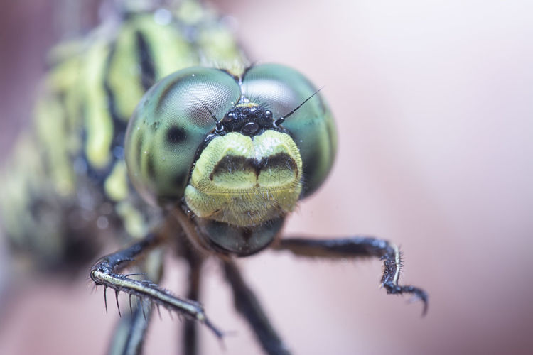 Green marsh hawk dragonfly