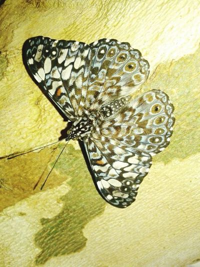 Animal Themes Butterfly Insect