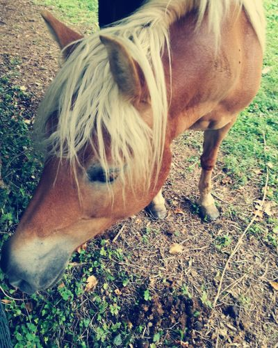 Domestic Animals Animal Themes One Animal Mammal Horse Day Outdoors Blondie Halfinger Horse Photography  Horse Photography  Beauty In Nature Agriculture