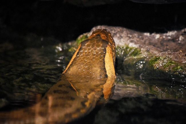 Water Close-up Nature No People Wet Waterfront One Animal Beauty In Nature Outdoors Animal Themes Animals In The Wild Day Underwater Sea Life UnderSea Snake Reptile Boa Python Animal Head  EyeEm Nature Lover Animal_collection Zoo Animals  Animals In Captivity Animal Photography