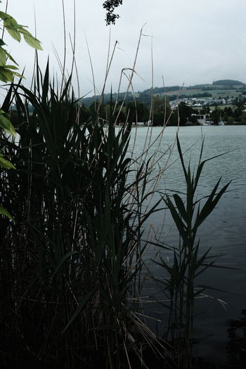 Close-up of grass by lake against sky