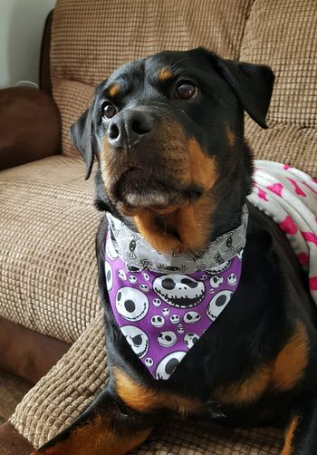 Getting ready for Howl-O'Ween 🎃💀👻 Dog Dog Pets Domestic Animals One Animal Animal Themes Sitting Sofa Relaxation Indoors  Close-up Mammal Pet Collar Couch Comfortable Resting Pet Clothing Animal Animal Head  Petapparel Bandana Nightmarebeforechristmas JackSkellington Spider Rottweiler