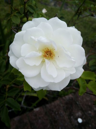 Huawei G9 Huawei Photography Morning Beauty In Nature Blooming Close-up Day Flower Flower Head Fragility Freshness Growth Huaweiphotography Nature No People Outdoors Petal Plant White Color