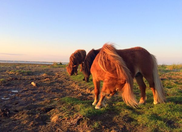 """""""Blondes have more fun (?)"""" Horses At Sunset Beauty In Nature EyeEm Nature Lover Livestock Mammal Animal Animal Themes Sky Vertebrate One Animal Domestic Animals Clear Sky Sunlight Field Land"""