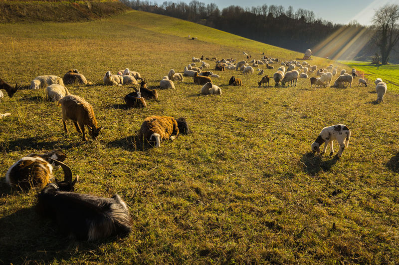 Animal Themes Beauty In Nature Bucolic Landscape Domestic Animals Goats Grass Herd Large Group Of Animals Light Refractions In Light Sheep To Pasture