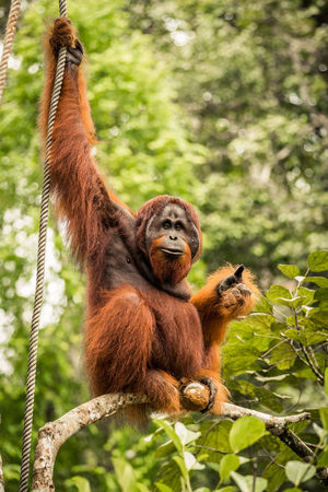 Thumbs Up Beauty In Nature Animal Themes Wildlife Orangutan Encouraging Well Done  Male Boss